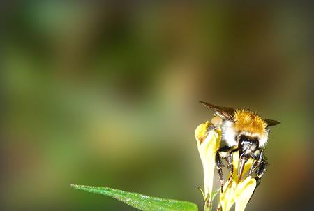 Biene beim tanken