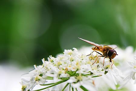 Helle Blattlausschwebfliege