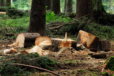 Am Ende des Holzwegs - Baumstümpfe