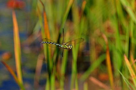 Libelle im Flug - Blaugrüne Mosaikjungfer