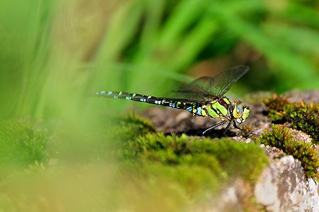 Libelle (Aeshna cyanea) bei der Rast