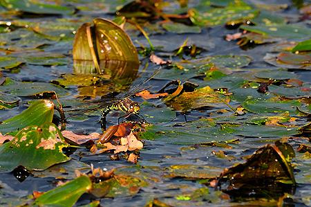 Blaugrüne Mosaikjunger bei der Eiablage mit ihrem Legebohrer unter Wasser