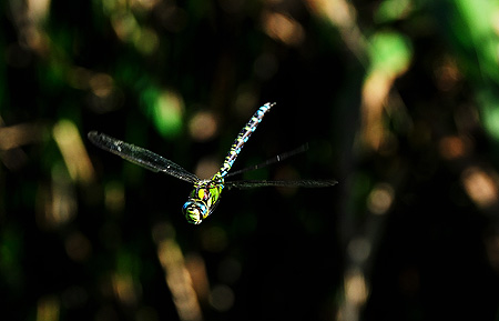 neugierige Blaugrüne Mosaikjunger (Aeshna cyanea)