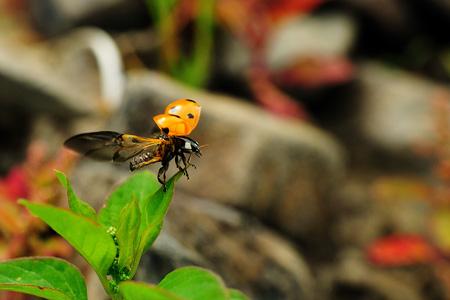 Marienkäfer Flügel - Kurz vor dem Abflug