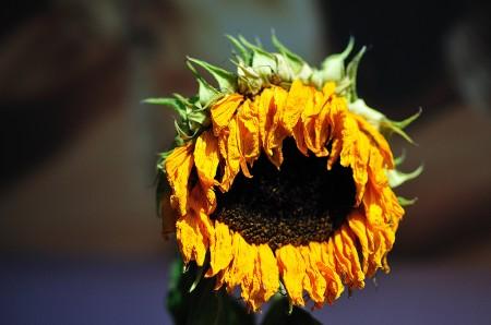 Sonnenblume im Juli